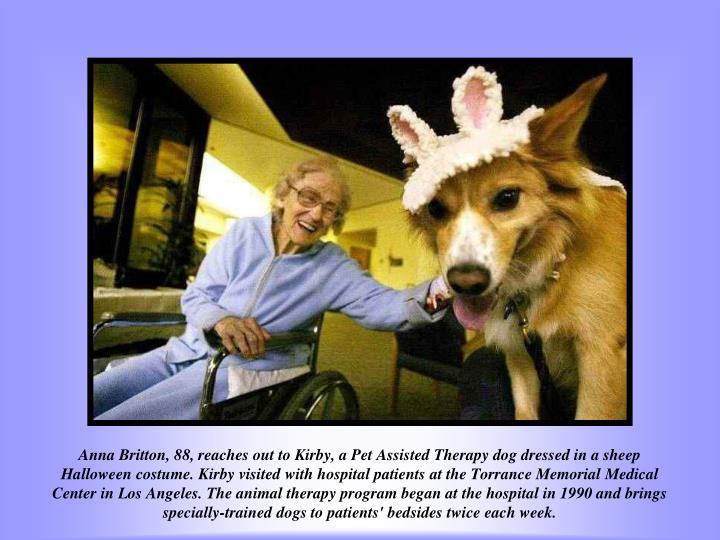 Anna Britton, 88, reaches out to Kirby, a Pet Assisted Therapy dog dressed in a sheep Halloween costume. Kirby visited with hospital patients at the Torrance Memorial Medical Center in Los Angeles. The animal therapy program began at the hospital in 1990 and brings specially-trained dogs to patients' bedsides twice each week.