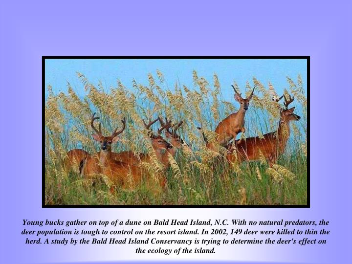 Young bucks gather on top of a dune on Bald Head Island, N.C. With no natural predators, the deer population is tough to control on the resort island. In 2002, 149 deer were killed to thin the herd. A study by the Bald Head Island Conservancy is trying to determine the deer's effect on the ecology of the island.