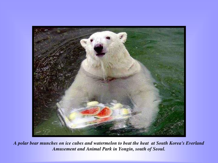 A polar bear munches on ice cubes and watermelon to beat the heat  at South Korea's Everland Amusement and Animal Park in Yongin, south of Seoul.