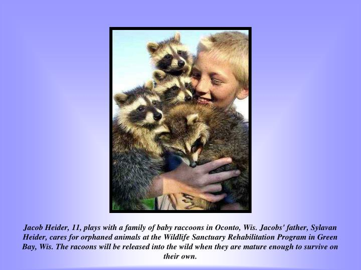 Jacob Heider, 11, plays with a family of baby raccoons in Oconto, Wis. Jacobs' father, Sylavan Heider, cares for orphaned animals at the Wildlife Sanctuary Rehabilitation Program in Green Bay, Wis. The racoons will be released into the wild when they are mature enough to survive on their own.