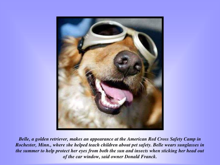 Belle, a golden retriever, makes an appearance at the American Red Cross Safety Camp in Rochester, Minn., where she helped teach children about pet safety. Belle wears sunglasses in the summer to help protect her eyes from both the sun and insects when sticking her head out of the car window, said owner Donald Franck.