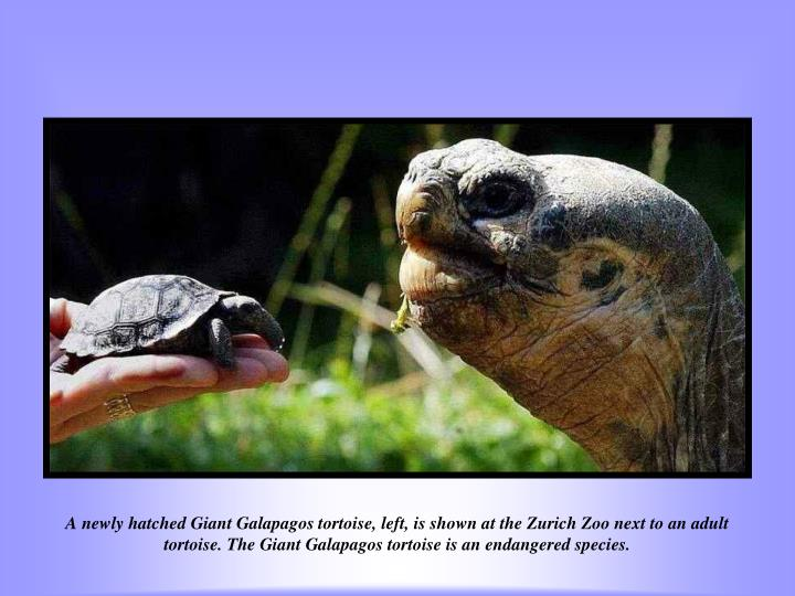 A newly hatched Giant Galapagos tortoise, left, is shown at the Zurich Zoo next to an adult tortoise. The Giant Galapagos tortoise is an endangered species.