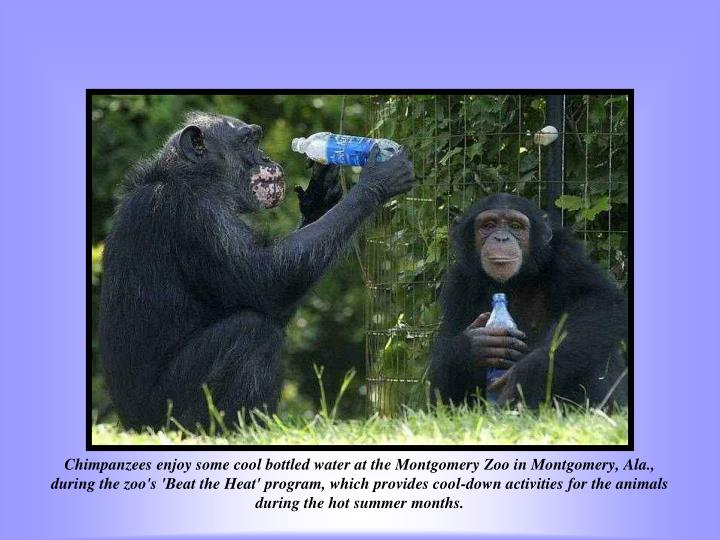 Chimpanzees enjoy some cool bottled water at the Montgomery Zoo in Montgomery, Ala., during the zoo's 'Beat the Heat' program, which provides cool-down activities for the animals during the hot summer months.