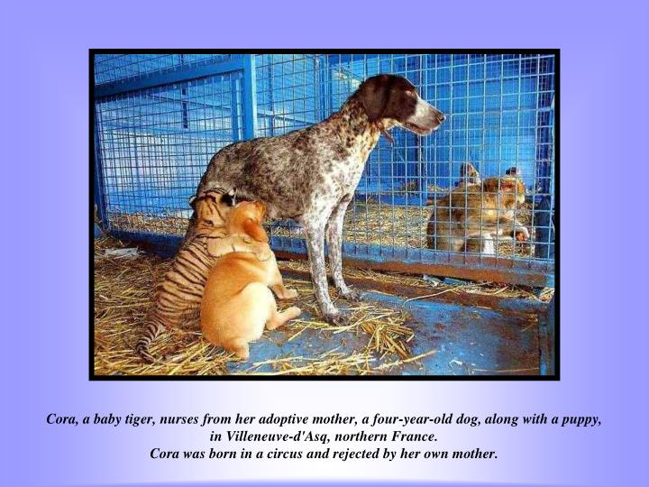 Cora, a baby tiger, nurses from her adoptive mother, a four-year-old dog, along with a puppy, in Villeneuve-d'Asq, northern France.