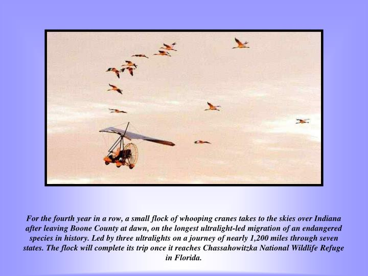 For the fourth year in a row, a small flock of whooping cranes takes to the skies over Indiana after leaving Boone County at dawn, on the longest ultralight-led migration of an endangered species in history. Led by three ultralights on a journey of nearly 1,200 miles through seven states. The flock will complete its trip once it reaches Chassahowitzka National Wildlife Refuge in Florida.