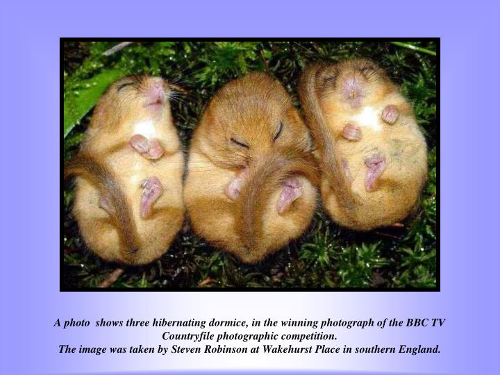 A photo  shows three hibernating dormice, in the winning photograph of the BBC TV Countryfile photographic competition.