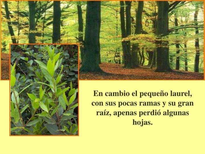 En cambio el pequeo laurel, con sus pocas ramas y su gran raz, apenas perdi algunas hojas.