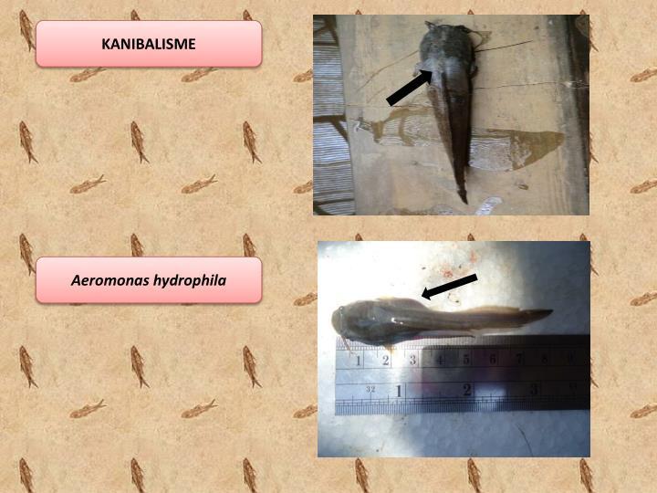 KANIBALISME