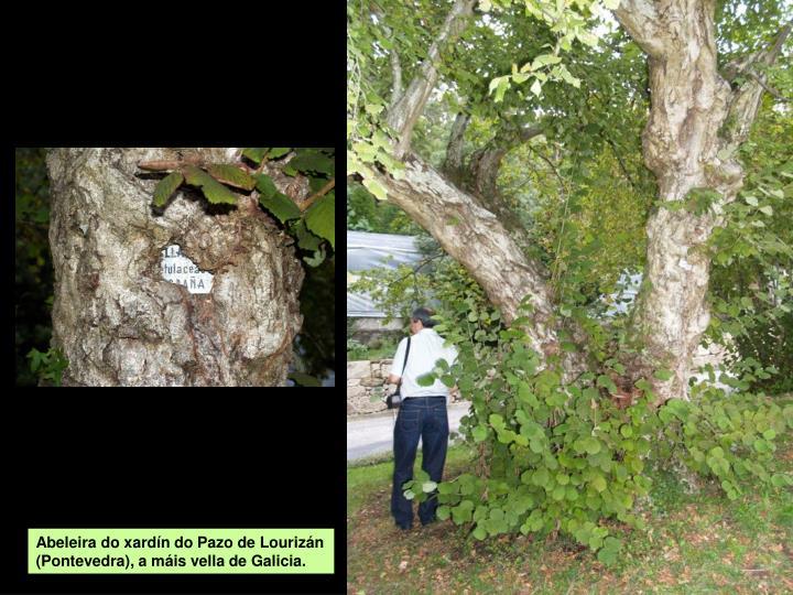 Abeleira do xardín do Pazo de Lourizán (Pontevedra), a máis vella de Galicia.