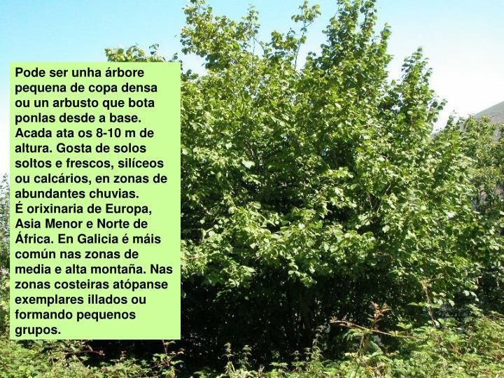 Pode ser unha árbore pequena de copa densa ou un arbusto que bota ponlas desde a base. Acada ata os 8-10 m de altura. Gosta de solos soltos e frescos, silíceos ou calcários, en zonas de abundantes chuvias.