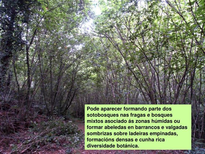Pode aparecer formando parte dos sotobosques nas fragas e bosques mixtos asociado ás zonas húmidas ou formar abeledas en barrancos e valgadas sombrizas sobre ladeiras empinadas, formacións densas e cunha rica diversidade botánica.