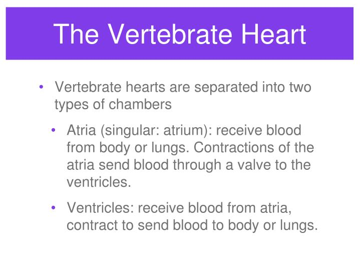 The Vertebrate Heart