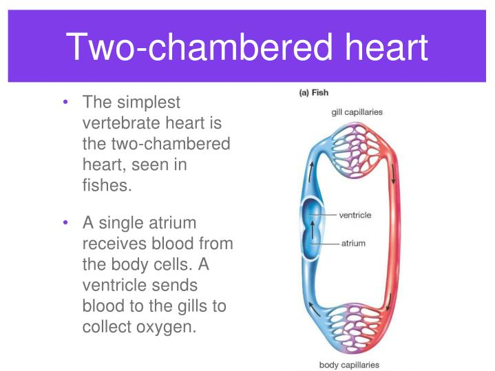 Two-chambered heart