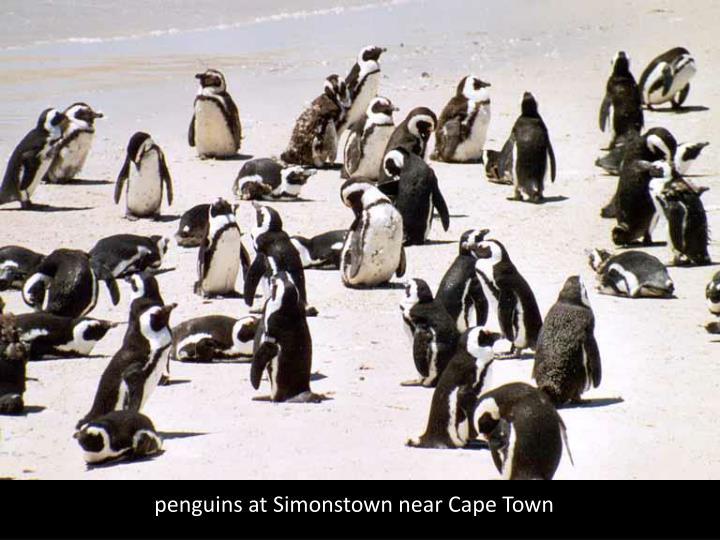 penguins at Simonstown near Cape Town