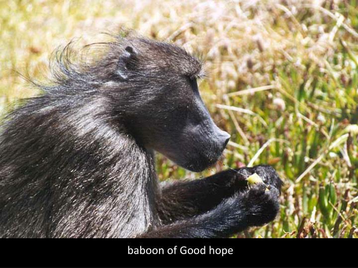 baboon of Good hope