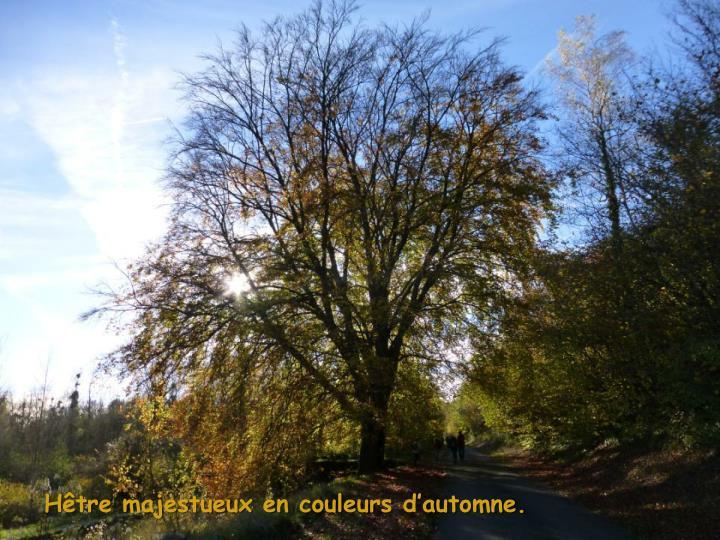 Hêtre majestueux en couleurs d'automne.