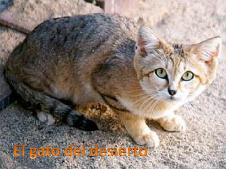 El gato del desierto