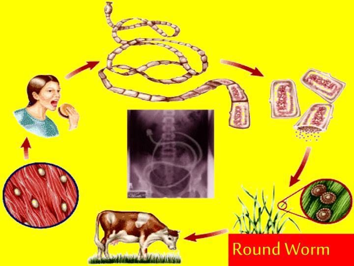 Round Worm