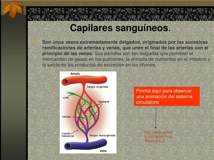 Capilares sanguíneos