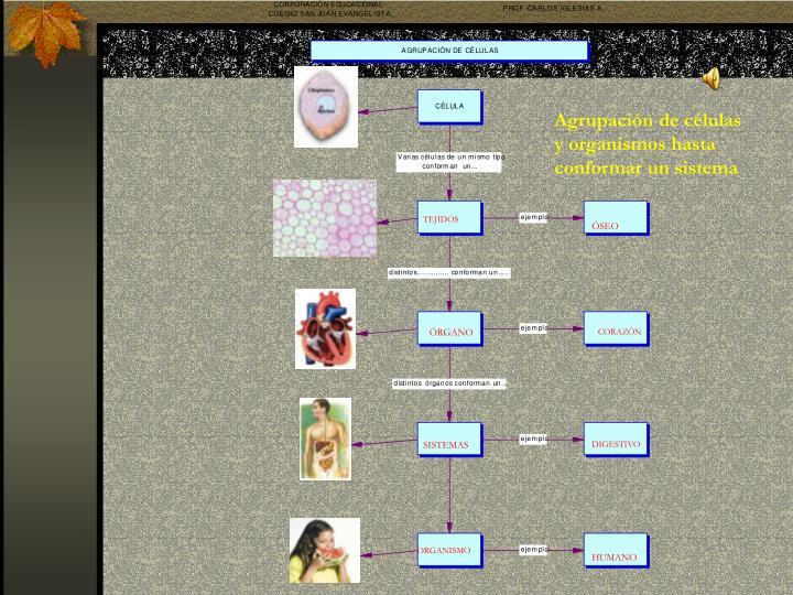 Agrupación de células y organismos hasta conformar un sistema