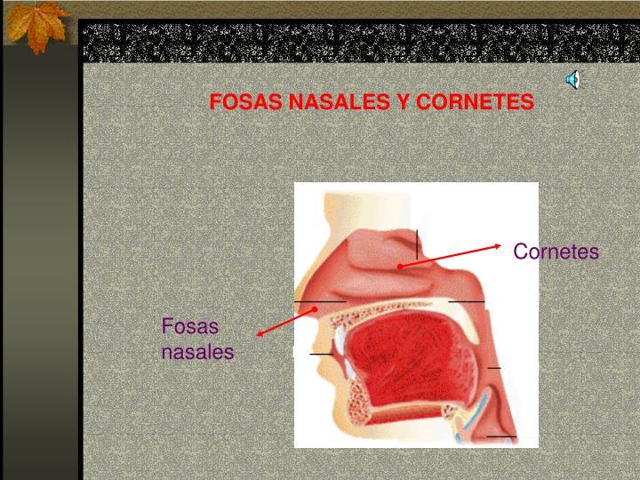 FOSAS NASALES Y CORNETES