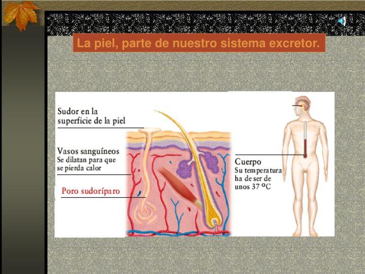 La piel, parte de nuestro sistema excretor.