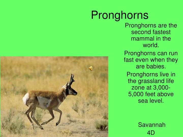 Pronghorns
