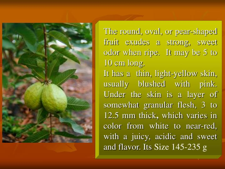 The round, oval, or pear-shaped fruit exudes a strong, sweet odor when ripe.  It may be 5 to 10 cm long.