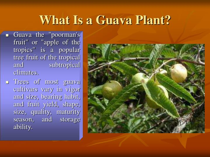 What Is a Guava Plant?