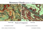 mammary glands inactive vs active1