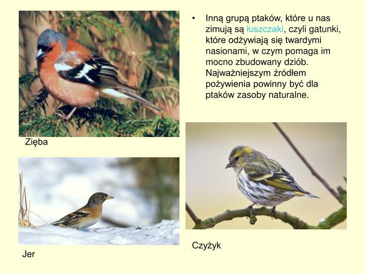 Inną grupą ptaków, które u nas zimują są