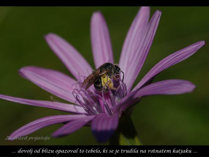 … dovolj od blizu opazoval to čebelo, ki se je trudila na rožnatem kačjaku …
