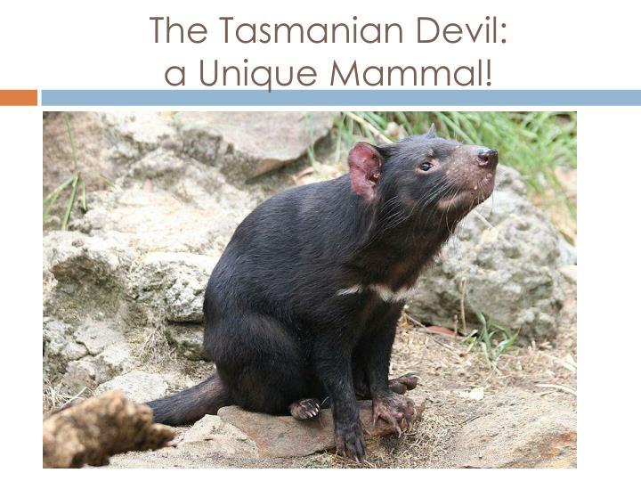 The Tasmanian Devil:                  a Unique Mammal!