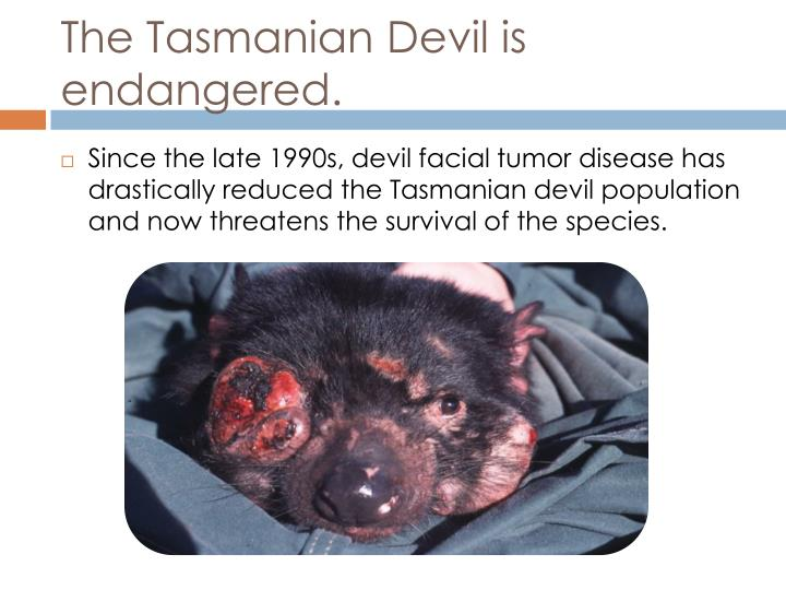The Tasmanian Devil is endangered.