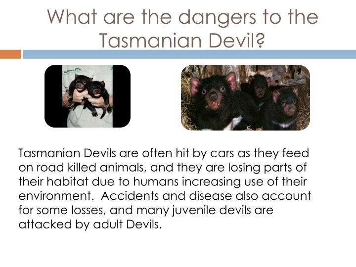 What are the dangers to the Tasmanian Devil?