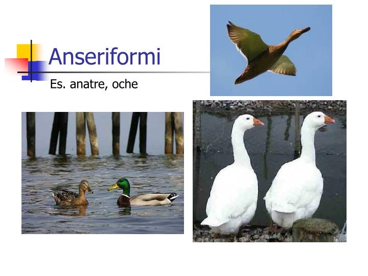 Anseriformi