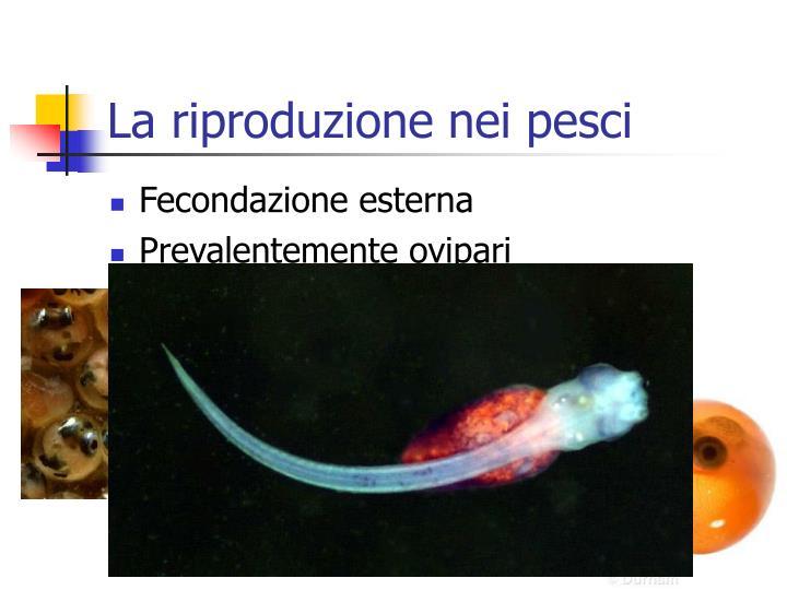 La riproduzione nei pesci