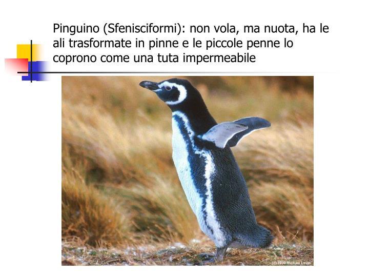 Pinguino (Sfenisciformi): non vola, ma nuota, ha le ali trasformate in pinne e le piccole penne lo coprono come una tuta impermeabile