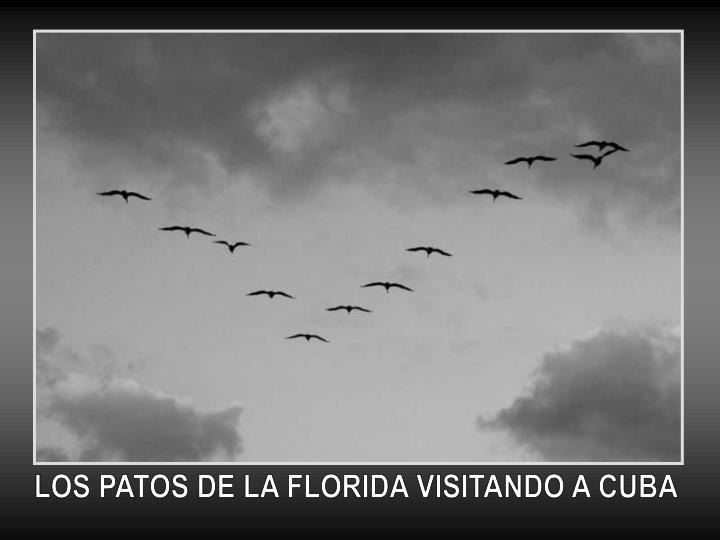 LOS PATOS DE LA FLORIDA VISITANDO A CUBA