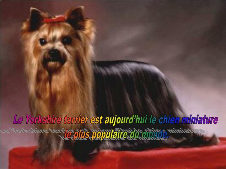 Le Yorkshire terrier est aujourd'hui le chien miniature