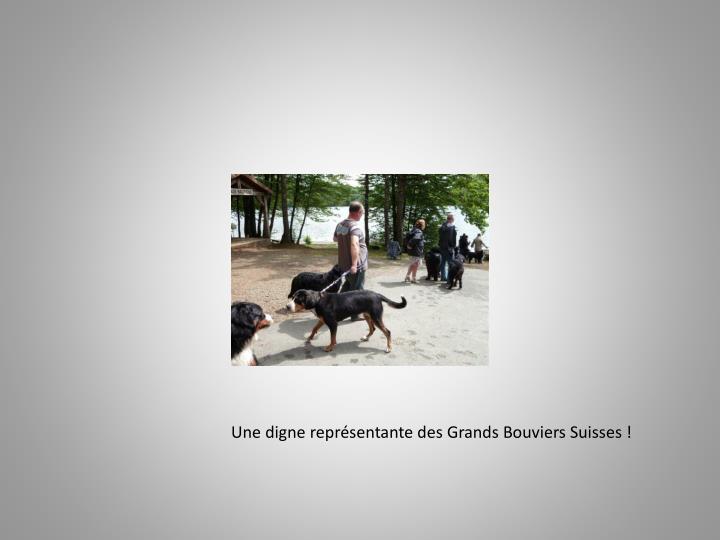 Une digne représentante des Grands Bouviers Suisses !