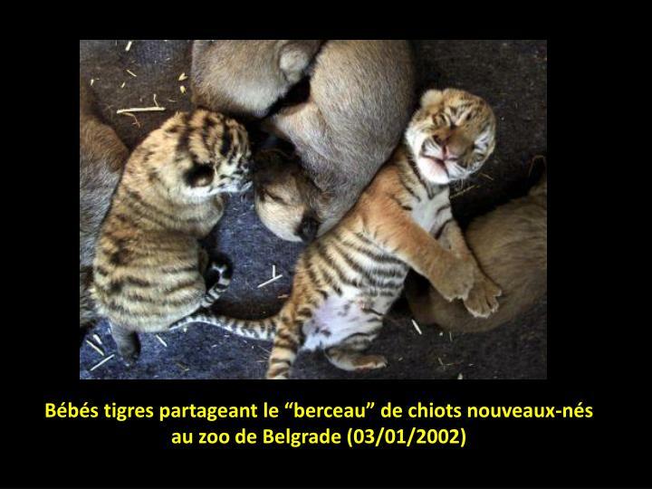 """Bébés tigres partageant le """"berceau"""" de chiots nouveaux-nés"""