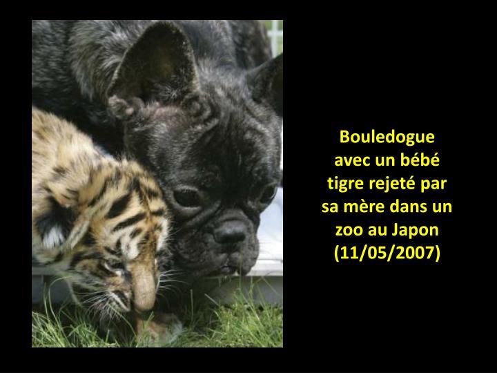 Bouledogue avec un bébé tigre rejeté par sa mère dans un zoo au Japon (11/05/2007)
