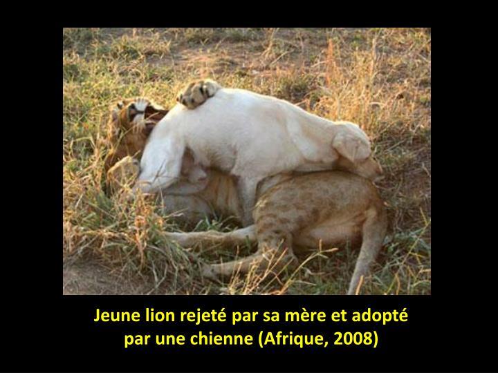 Jeune lion rejeté par sa mère et adopté