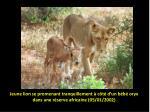 jeune lion se promenant tranquillement c t d un b b oryx dans une r serve africaine 05 01 2002