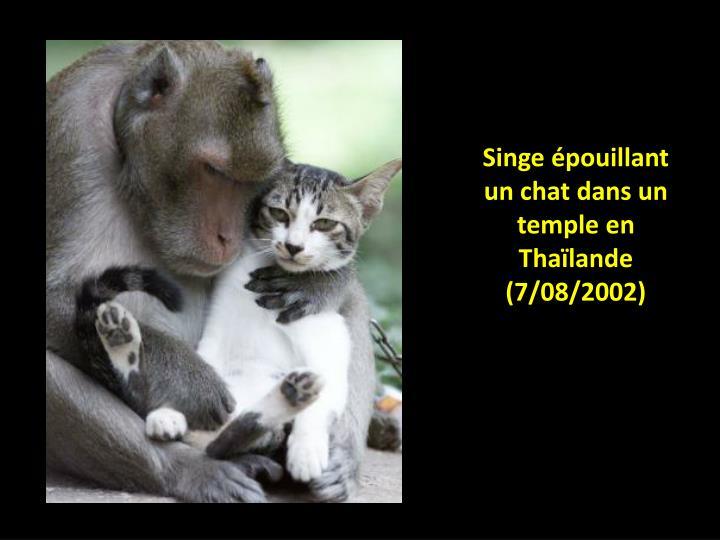 Singe épouillant un chat dans un temple en Thaïlande (7/08/2002)