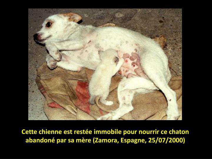 Cette chienne est restée immobile pour nourrir ce chaton abandoné par sa mère (Zamora, Espagne, 25/07/2000)