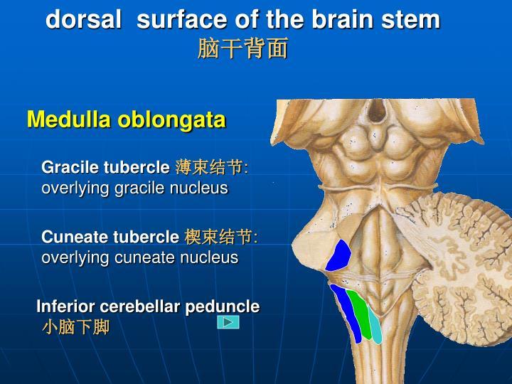 dorsal  surface of the brain stem
