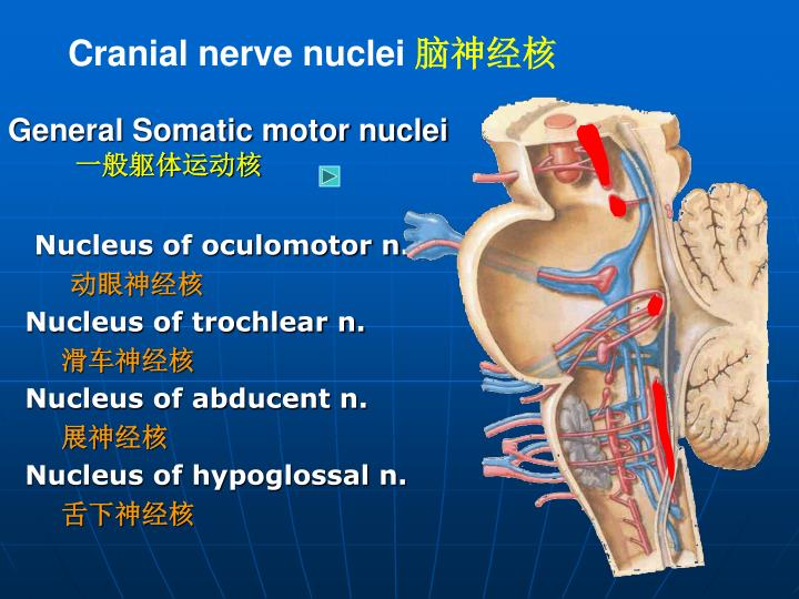 Cranial nerve nuclei