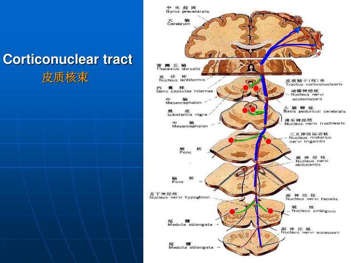 Corticonuclear tract